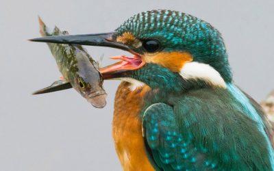 De ijsvogel (met vis) van Jurgen van Vliet